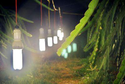 Đèn Rạng Đông compact cho vườn cây trĩu quả