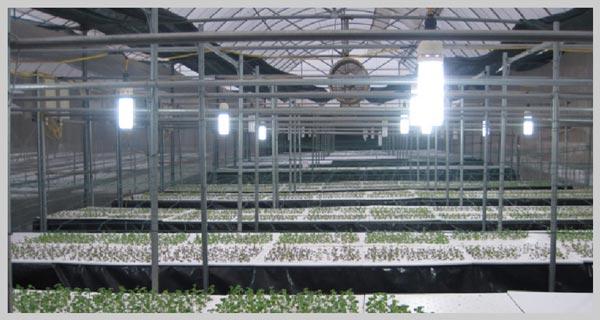 Ứng dụng đèn led rạng đông cho trại gà nông nghiệp